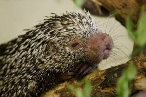 The face of a Brazilian porcupine.