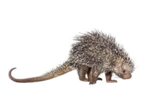 A Brazilian porcupine on a white background.