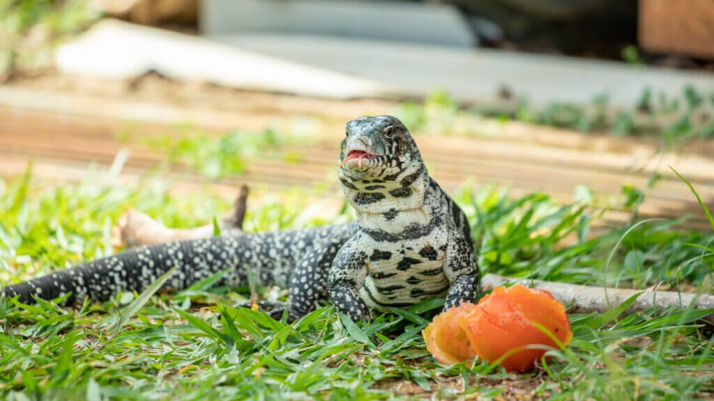 The Care and Characteristics of the Argentine Black and White Tegu