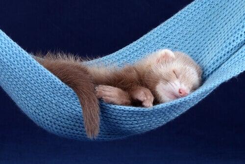 A ferret sleeping on a hammock.