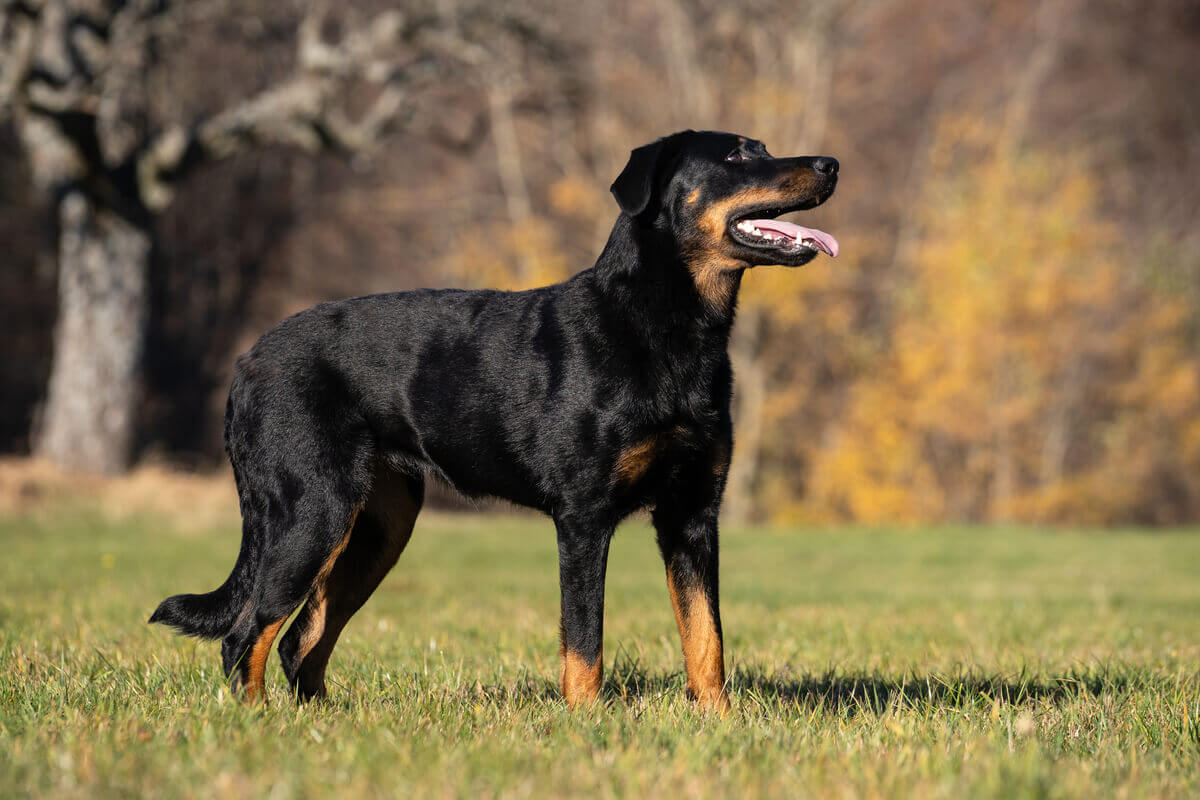 A beauceron dog.