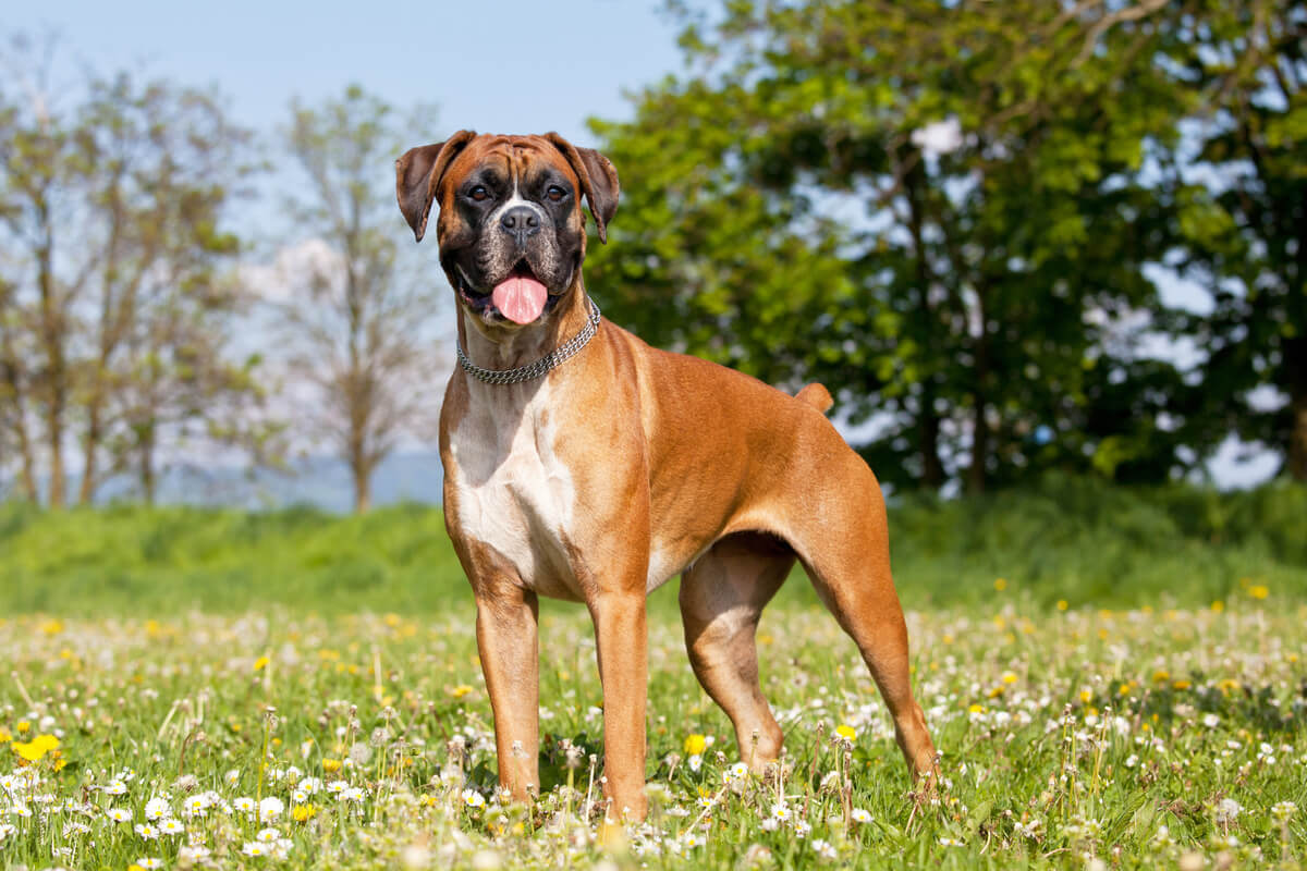 A boxer in an upright position.