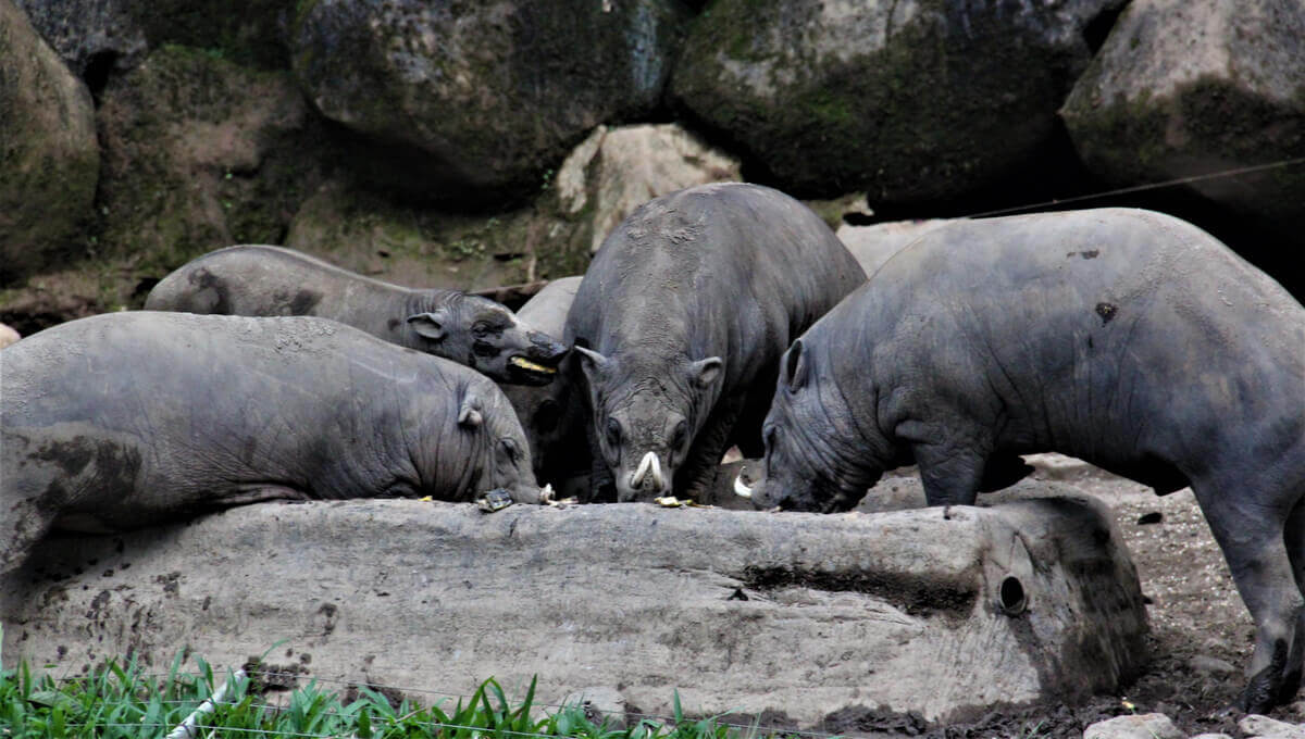 A group of babirusas eating.