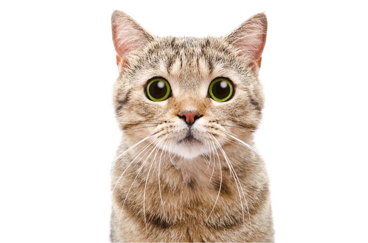A close-up of a cat staring at the camera.