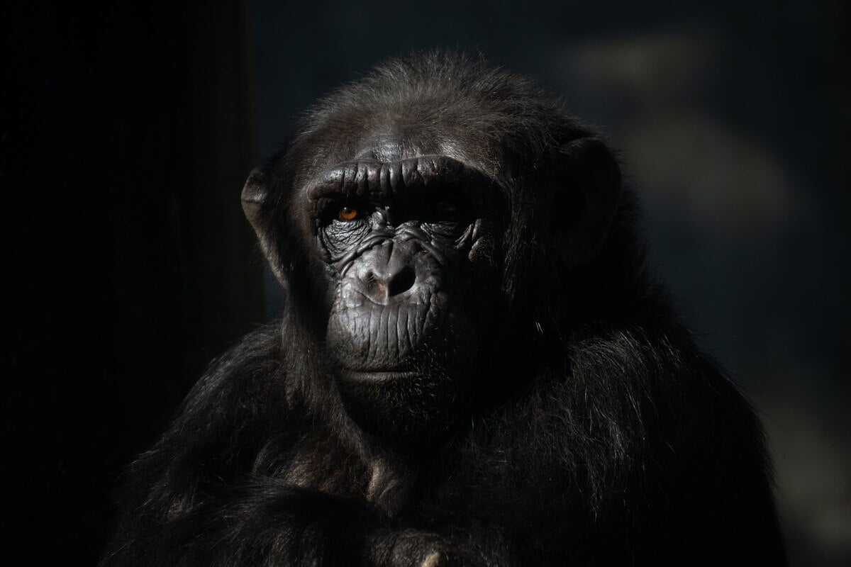 The face of a chimpanzee with a black background.