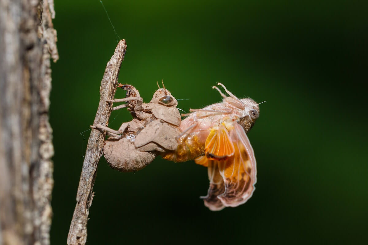The molting of a cicada.