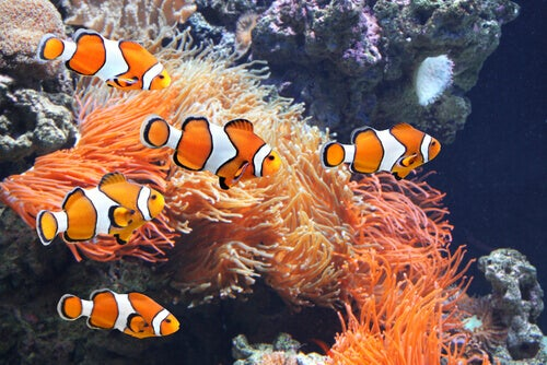 Clown fish swimming in an aquarium.
