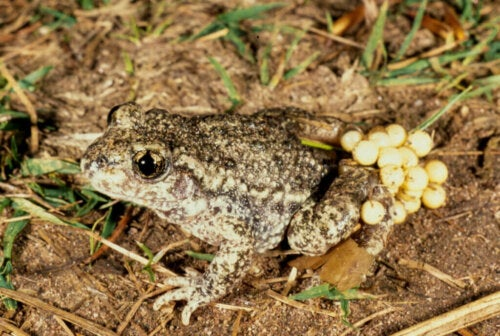 The Common Midwife Toad