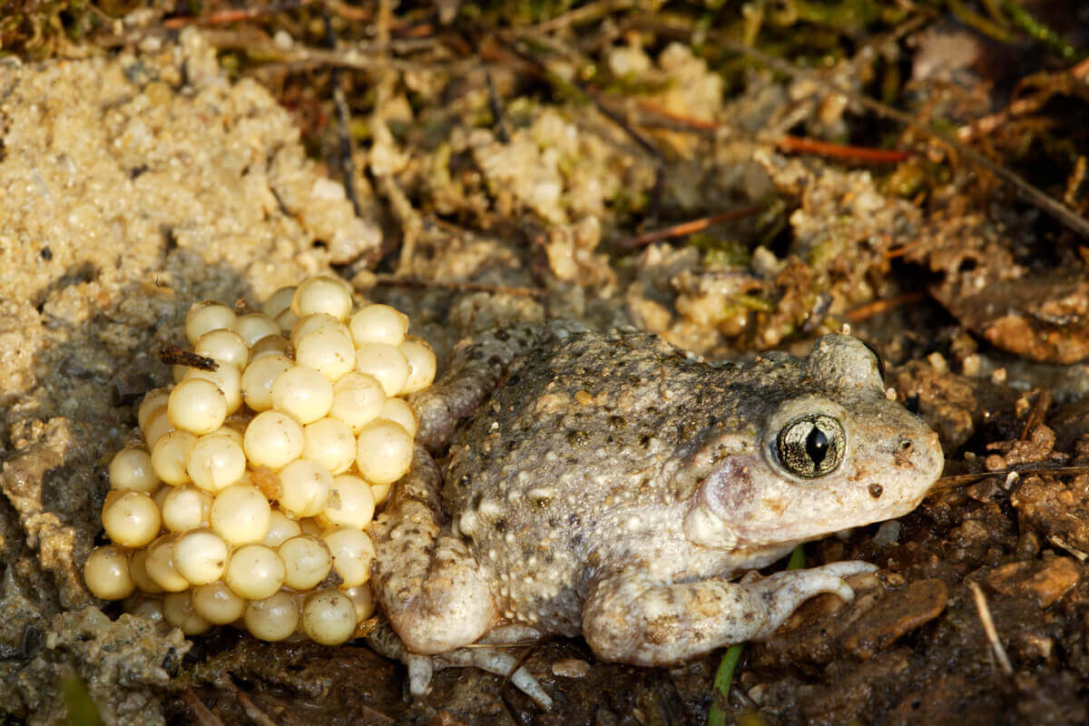 A common midwife toad with eggs.