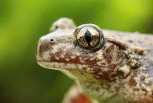 Face of a common midwife toad.