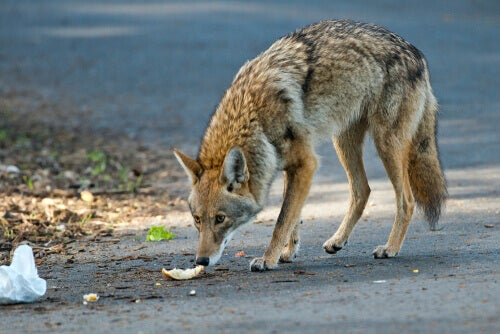 A coyote smelling garbage.