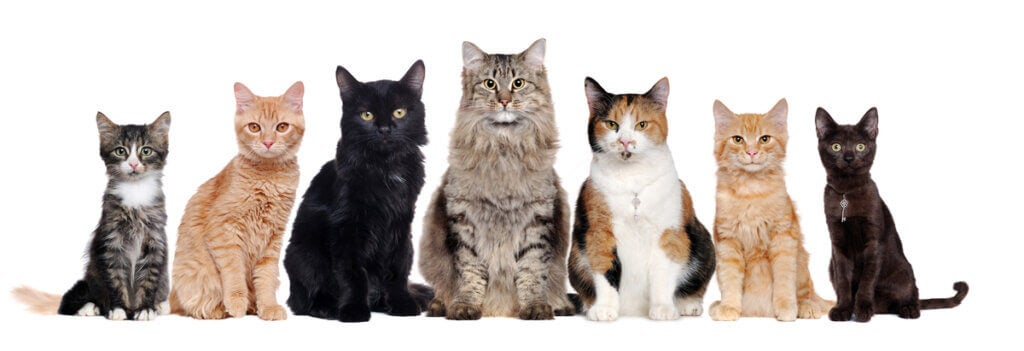 How Many Domestic Cat Breeds Are There?