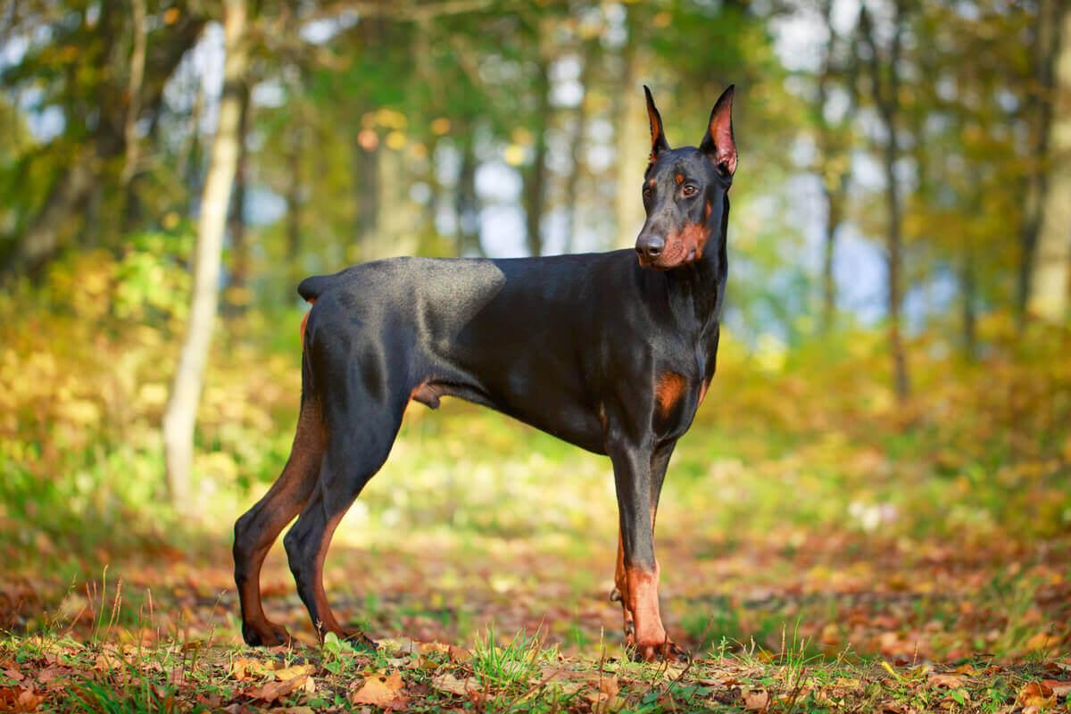 A Doberman pinscher dog.