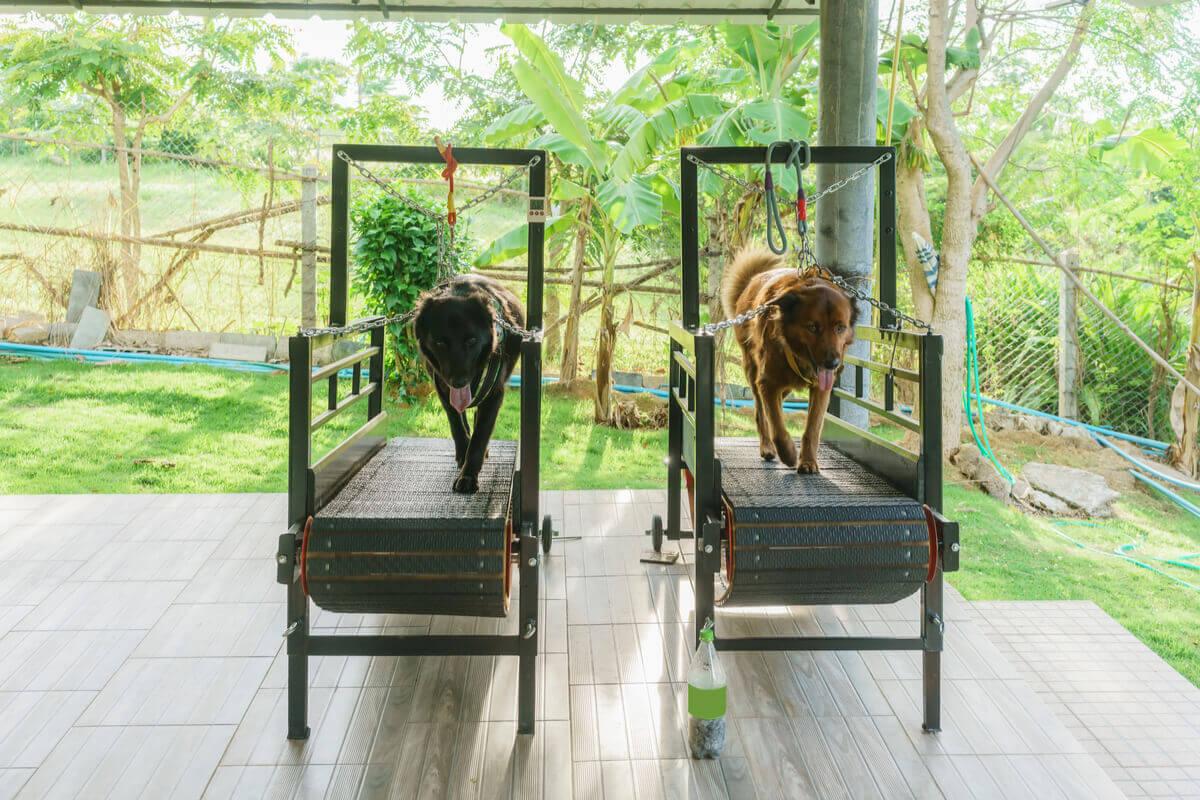 Dogs walking on treadmills.