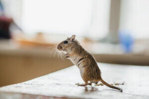 Mongolian gerbils are underground animals but they are also seen as pets.
