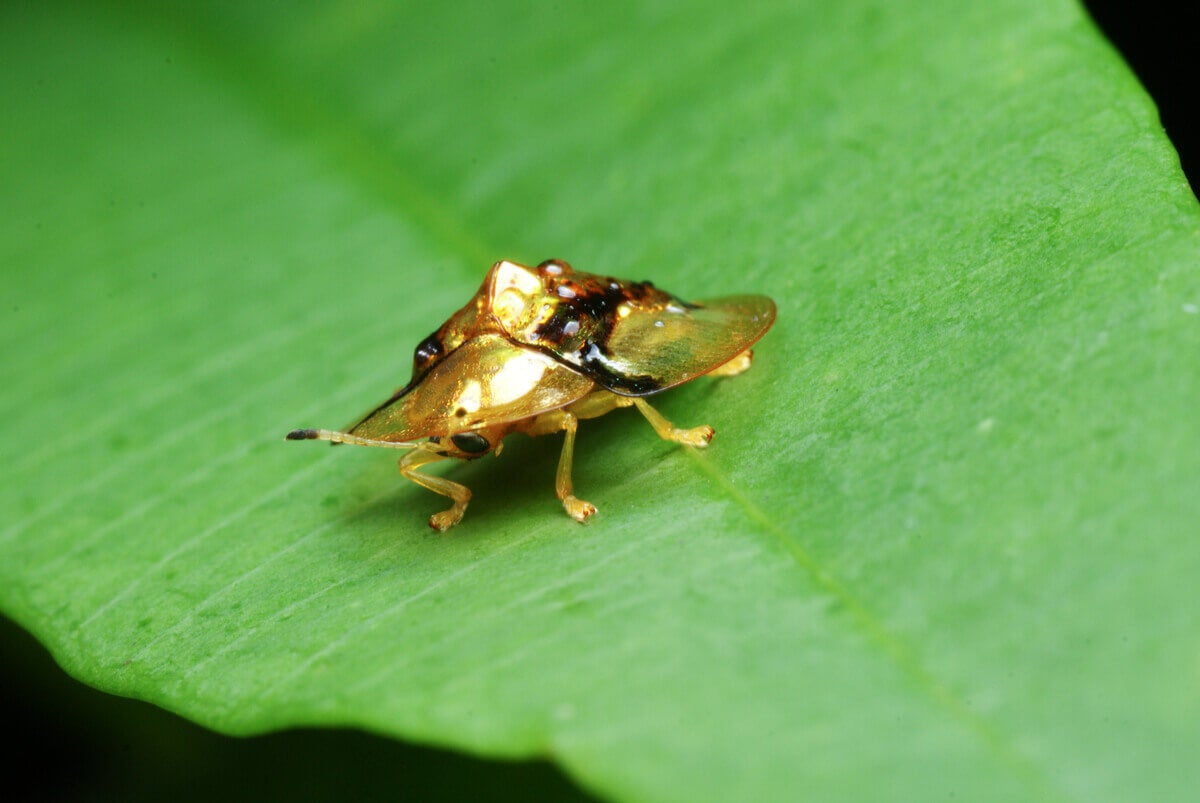 The frontal view of a gold tortoise beetle.