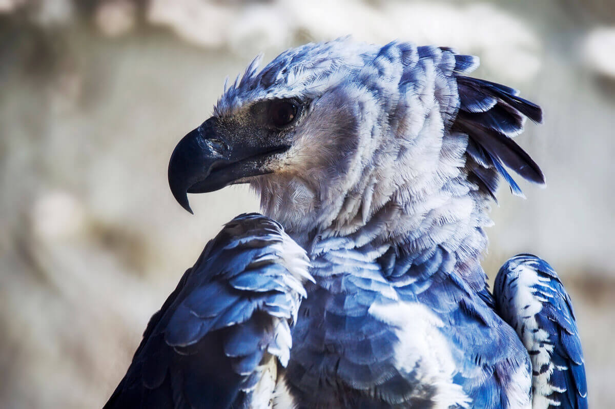 The face of a harpy.