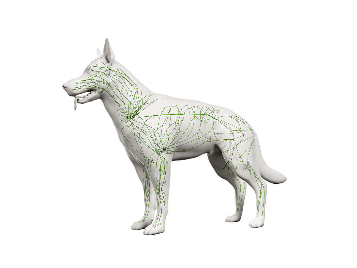 Autoimmune diseases in dogs: lymphatic system.