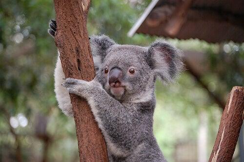A koala in a tree.