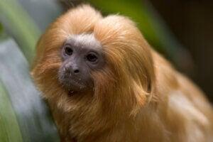 The face of a golden lion tamarin.