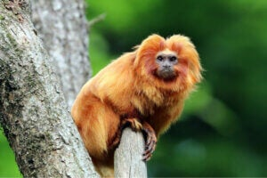A golden lion tamarin sitting in a tree.