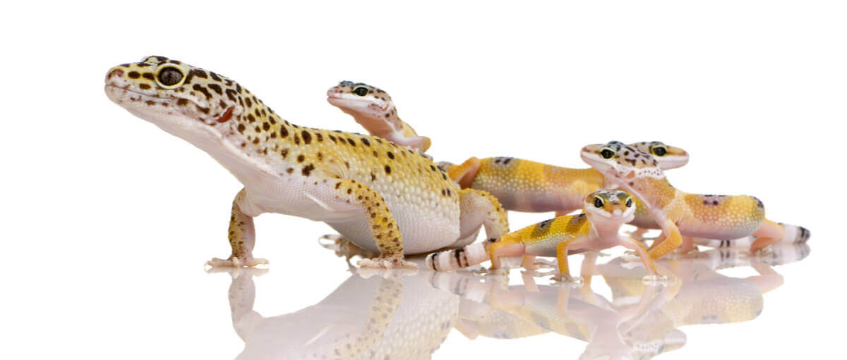 A leopard gecko with its young.