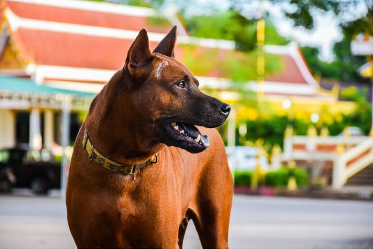 A Thai ridgeback guard dog.