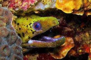 A moray eel showing its teeth.
