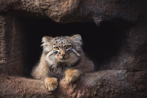 Pallas's Cat: A Himalayan Loner