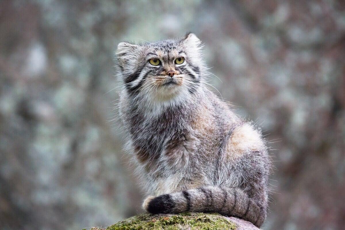 Pallas's cat sitting on a rock.