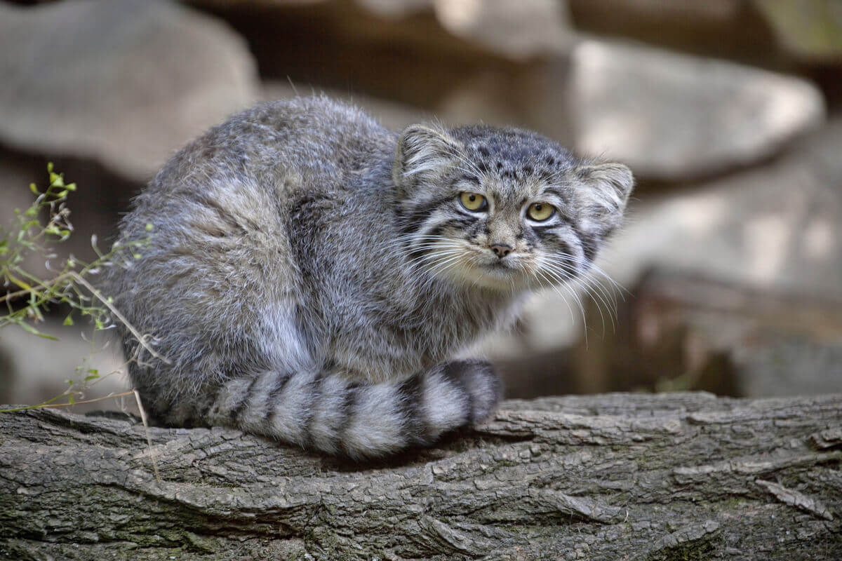A Pallas's cat staring from a tree branch.