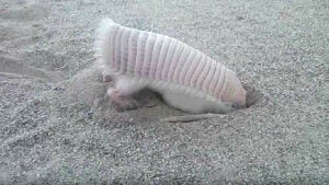 The pink armadillo is an underground animal that like digging burrows.