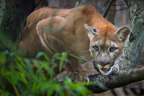 The Puma Is The Great American Predator