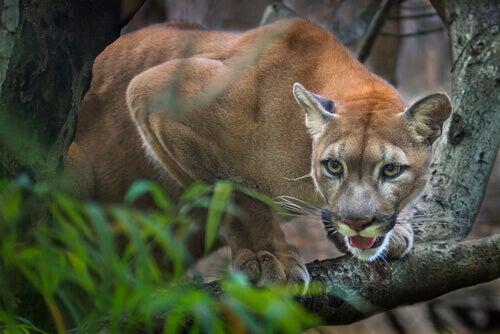 The Puma Is The Great American Predator