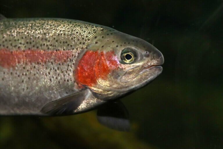 The Rainbow Trout, a Multicolored Salmonidae