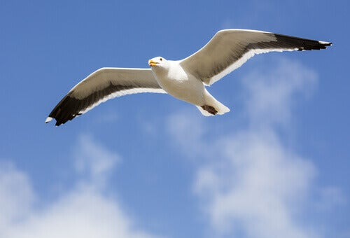 A seagull in flight.