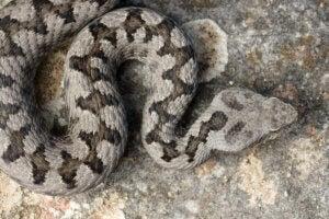 A viper.