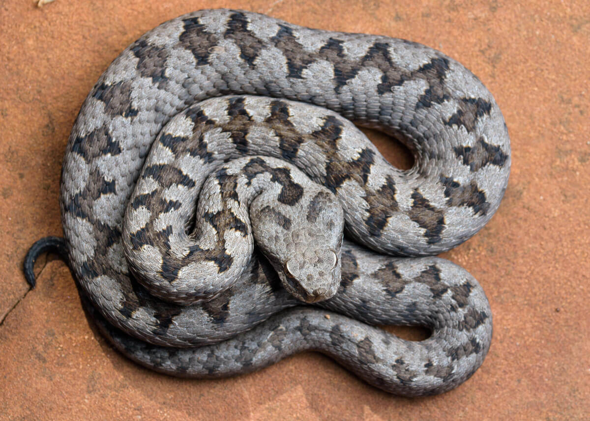 A curled up snake.