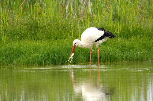 A stork catching a frog.