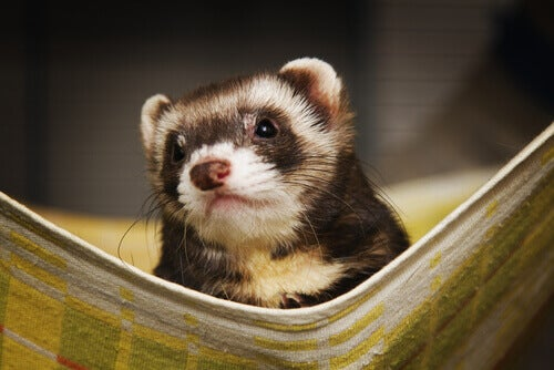 The nature of ferrets.