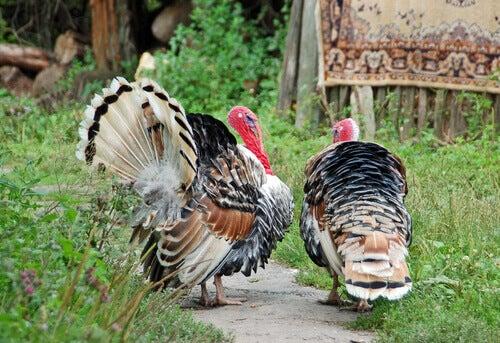 The origin of the domestic turkey.