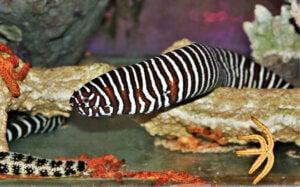 A species of zebra moray eels.