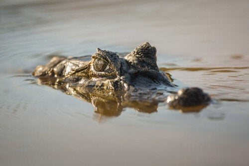 The Broad-Snouted Caiman: Threat and Conservation