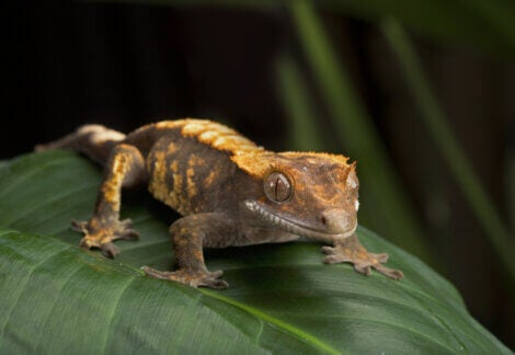 A crested gecko on a leaf.