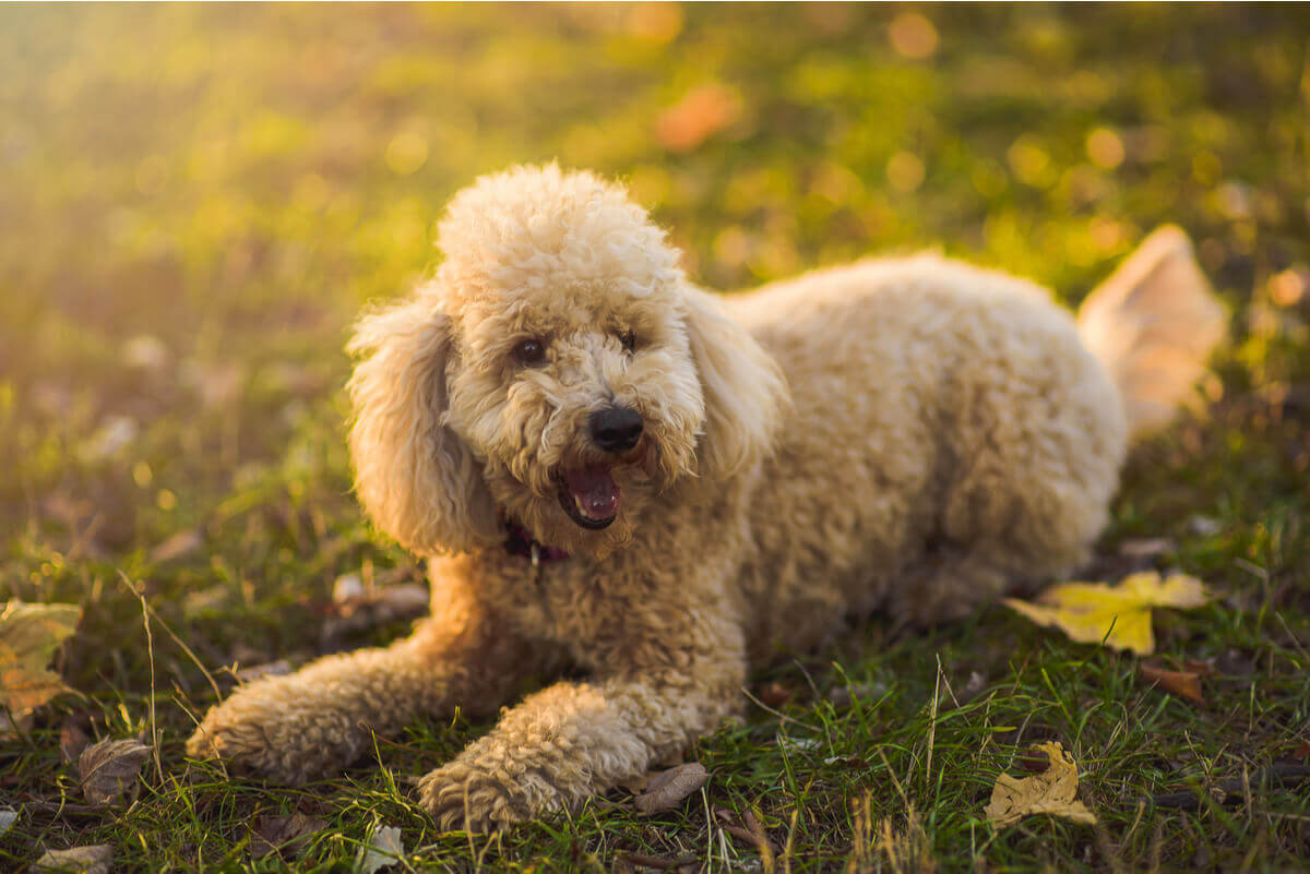 A miniature poodle lying in the grass.