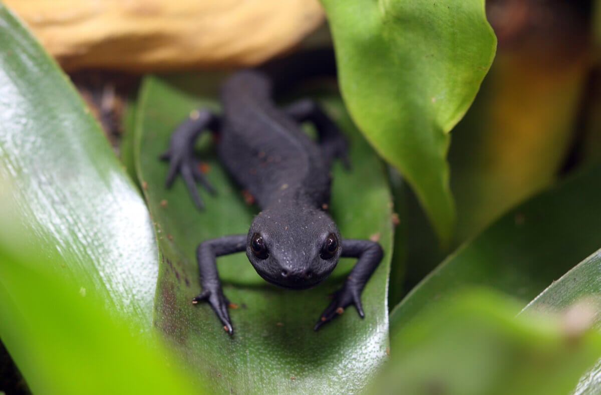 A black fire belly newt on a leaf.
