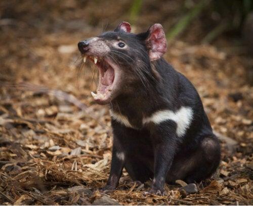 A Tasmanian Devil baring its teeth.