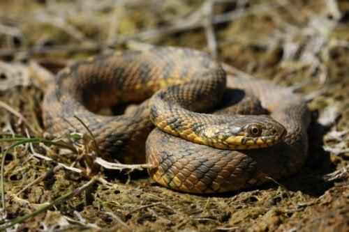 A non-venomous snake.
