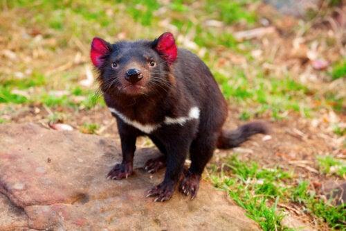 A Tasmanian Devil looking at the camera.