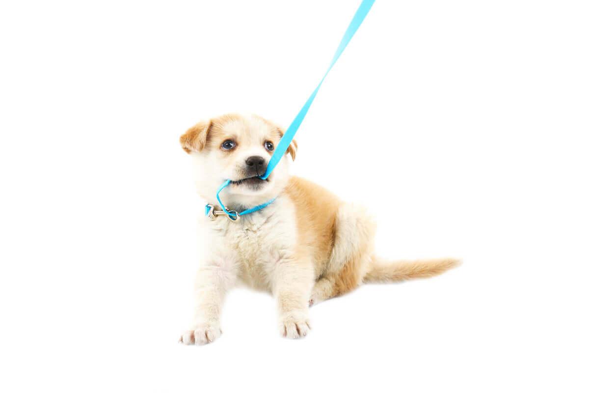 A puppy biting its leash.